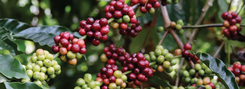 Coffee Plantation Padma Resort Ubud